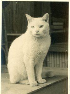 白猫コトン